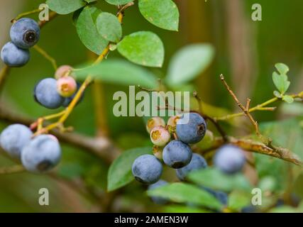 Ripe blueberries on the bush. Vaccinium corymbosum, the northern highbush blueberry. Springfield, Georgia, USA.   Vaccinium corymbosum  Kingdom: Plant - Stock Photo