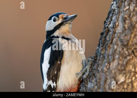 A male great spotted woodpecker (Dendrocopos major) sitting on a tree trunk - Stock Photo