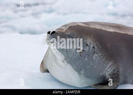 Crabeater Seal (Lobodon carcinophaga) on an iceberg in Antarctica. Crabeater seals are the most common large mammal on the planet after humans, with a - Stock Photo