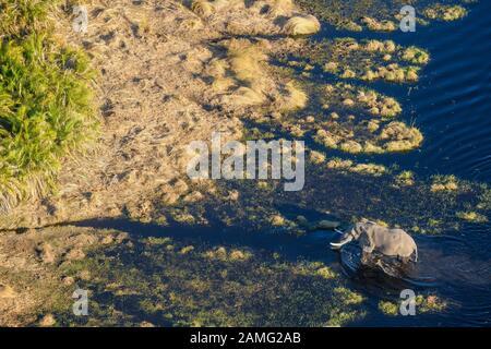 Aerial view of African Elephant, Loxodonta africana, crossing the water, Macatoo, Okavango Delta, Botswana