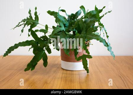 Blue Star fern plant in decorative pot against white background - Stock Photo