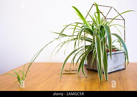 Spider plant with runner in decorative pot against white background - Stock Photo