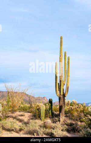 Saguaro cactus (Carnegiea gigantea) in the desert near Phoenix, Arizona. - Stock Photo