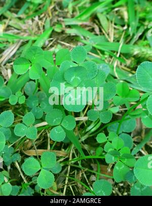The Lucky Four-leaf Clover Among Many Shamrock Leaves on the Field - Stock Photo