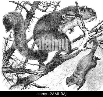 Red giant flying squirrel, Petaurista petaurista  /  Roter Taguan, Pteromys nitidus, Historisch, digital improved reproduction of an original from the 19th century / digitale Reproduktion einer Originalvorlage aus dem 19. Jahrhundert, - Stock Photo