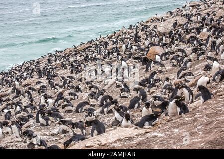 Rockhopper penguin colony, Saunders Island, Falkland Islands, South Georgia, Antarctica - Stock Photo