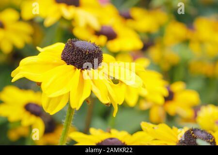 Rudbeckia hirta Toto 'Lemon' coneflower in a late summer garden border. UK - Stock Photo