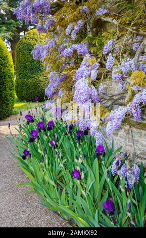Purple wisteria (Wisteria sinensis) and dark purple iris in flower in a border against a wall in Loseley Park, Guildfor, Surrey, England in late sprin - Stock Photo