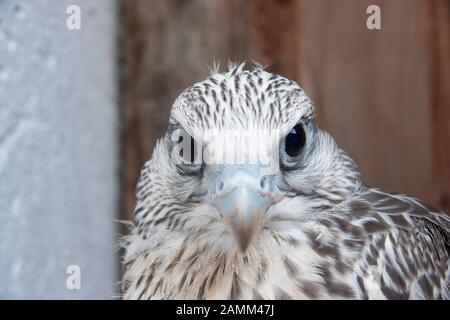 the gerfalcon, gerfalcons originate from Greenland and are very popular with falconers for hunting, as they are much faster than eagles and hawks [automated translation] - Stock Photo