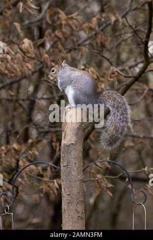 Grey squirrel Sciurus carolinensis in winter with silvery grey fur and a brown tinge along the middle of the back its large bushy tail and face.