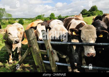 A herd of cattle blocking a public footpath at a stile. - Stock Photo