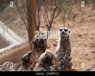 a meerkat next to a rock - Stock Photo