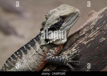 A Tuatara Lizard, native to New Zealand, basking on a tree trunk. - Stock Photo
