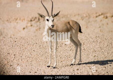 Arabian gazelle Gazella arabica - Stock Photo