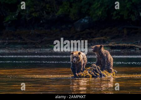 Two grizzly bear cubs feasting on a rock in Hoeya Sound, Knight Inlet, First Nations Territory, British Columbia, Canada.