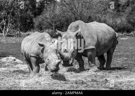 Black and white animal photography: two white rhinos (Ceratotherium simum) eating hay outdoors in spring sunshine at Cotswold Wildlife Park, UK. - Stock Photo