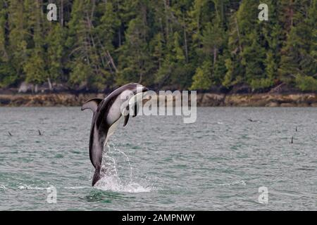 Pacific white-sided dolphin jumping along the Broughton Archipelago, First Nations Territory off Vancouver Island, British Columbia, Canada.