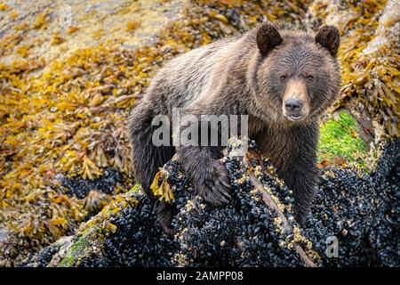 Grizzly bear foraging on mussels along the low tide line in Knight Inlet, First Nations Territory, British Columbia, Canada.