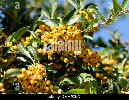 Feuerdorn, Pyracantha coccinea,  ist eine wildwachsende  Heilpflanze mit gelben oder roten Fruechten. Firethorn, Pyracantha coccinea, is a wild medici - Stock Photo
