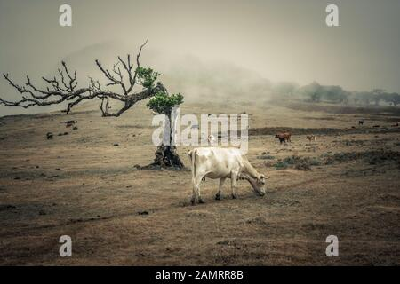 Grazing cow from profile view in foggy and cloudy UNESCO laurel forest in Madeira with iconic tree in foreground and other cows and forest in backgrou - Stock Photo