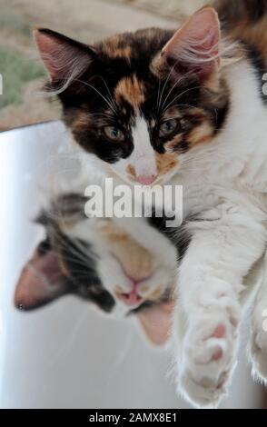 A sweet tortoiseshell norwegian forest cat kitten lying on a mirror - Stock Photo