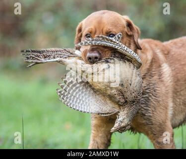 yellow labrador retriever with a shot dead pheasant - Stock Photo