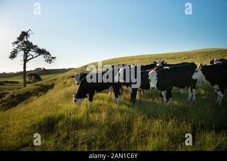 Cattle on the green hills of Taranaki in the golden afternoon sun