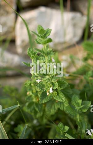 fresh leaves and flowers of Melissa officinalis - Stock Photo