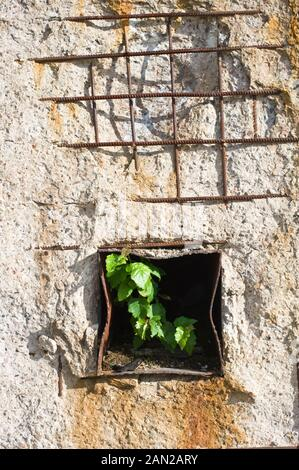 Tree sapling in iron tube that goes through old concrete wall. - Stock Photo
