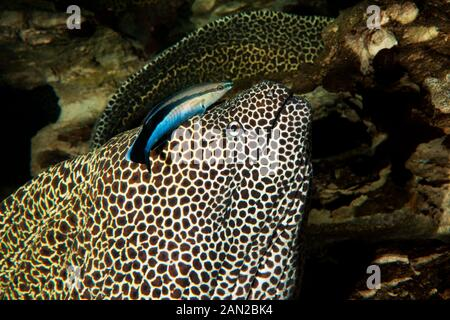 HONEYCOMB MORAY EEL gymnothorax favagineus WITH A BLUESTREAK CLEANER WRASSE labroides dimidiatus, SOUTH AFRICA - Stock Photo