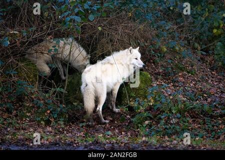 ARCTIC WOLF canis lupus tundrarum - Stock Photo