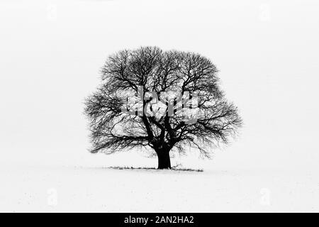 Sweet Chestnut (Castanea sativa) in winter snow, Salisbury Plain, Wiltshire, England - Stock Photo