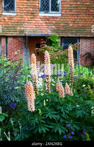 Lupins growing in garden of typical cottage in country near Chiddingstone , Kent , England - Stock Photo