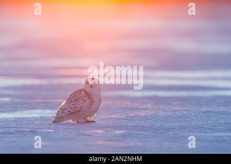 Snowy owl (Bubo scandiacus), Ontario, Canada - Stock Photo