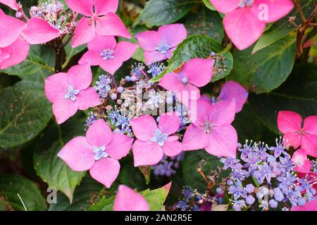 Hydrangea macrophylla 'Kardinal Violet' compact lacecap with deep pink and mauve flowers - Stock Photo