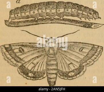 Report on the Rocky Mountain locust and other insects now injuring or likely to injure field and garden crops in the western states and territories . Eating the boll of the cotton-plant,corn in the ear, tomato-fruit, etc.; a rather large, thick-bodied, pale-green or dark-brown caterpillar, with longitudinal light and dark Hues, and with a broad yellowband below the breathing-pores, and marked with black spots, from which arise finehairs. This moth is a cosmopolitan, being injurious in Europe, and inhab-iting Japan and even Australia. It feeds on a variety of plants, not only devouring the caly - Stock Photo