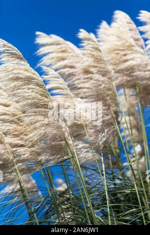 Pampas grass feathery flower heads - Stock Photo