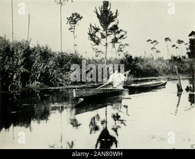 The alligator and its allies . Fig. 3. Alligator Joe in the Everglades.(From a Photograph by the Author.). Fig. 4. Alligator Hunter in the Okefinokee. (From a Photograph by the Author.) The Biology of the Crocodilia ii purposes, as well as their destruction for food bybears and other animals, will also tend towardsthe annihilation of the species in the course oftime. The economic importance of the alligatorwill be discussed later. While in the old days, as has been said, the alli-gator was common in the larger rivers and lakes,and may even have ventured short distances intosalt water, he must - Stock Photo