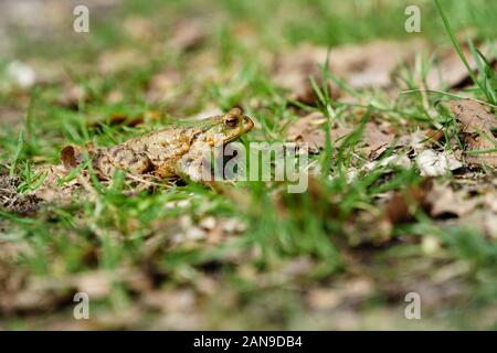 Common toad (European toad) hiding in green grass during the annual toad migration season in Germany in March and June-August. - Stock Photo