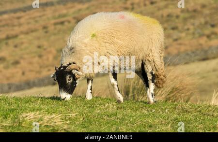 Swaledale sheep in Winter.  Single ewe or female sheep, with her head down and grazing on sparse grass.  Close up, blurred background.  Arkengarthdale - Stock Photo
