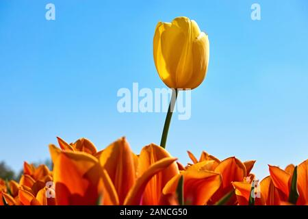 Individuality, difference and leadership concept. Stand out from the crowd. A single yellow tulip in a field with orange tulips against a blue sky.