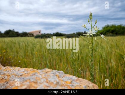 Narbone star-of-Bethlehem (Ornithogalum narbonense) alongside a wheat field in Formentera countryside (Pityusic Islands, Balearic Islands, Spain) - Stock Photo