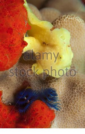 A juvenile Commerson's frogfish, Antennarius commersoni, and a blue Christmas tree worm, Spirobranchus giganteus, Maui, Hawaii, USA, Pacific Ocean - Stock Photo
