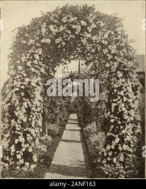 Farquhar's 1910 garden annual . doz., $3.50; 100, $25.00.Common. Pale pink; deliciously fragrant. POLYANTHA ROSES. Each, .50; doz., $5.00. These are now extensively used for Summer bedding. Theygrow in dwarf compact bushes which are covered with blossomsfrom June until late frosts.Baby Crimson Rambler. Madame .V. Levavasseur. Crimson flowers in clusters.Baby Pinlt Rambler. Baby Dorothy. Fine clear pink.Baby Rose Rambler. Amy Mullcr. Rosy pink flower trusses.Baby White Rambler. Kaiherina Zeimet. White flowers in large trus-ses. WICHURIANA ROSES. Each, .50; doz., $4.00.Gardenia. Bright yellow; f - Stock Photo