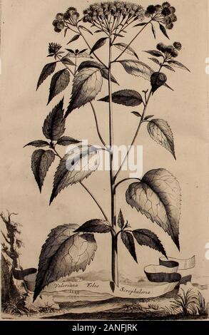 Naauwkeurige beschryving der aardgewassen, waar in de veelerley aart en bijzondere eigenschappen der boomen, heesters, kruyden, bloemen, met haare vrugten, zaden, wortelen en bollen, neevens derzelver waare voort-teeling, gelukkige aanwinning, en heylzaame genees-krachten ..beschreeven worden; . ^/ 7<?j- *. - Stock Photo