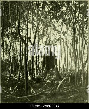 Arkiv för botanik . Det 22 är gamla skäret 9 Balgbergen. Skog bestående af POPULUS TREMULA,SALIX CAPREA med enstaka ALNUS GLUTINOSA och BETULA VERRUCOSA.En mängd af de på bilden synliga träden äro dödade genom öfverskuggning. (G. Bergmark foto. d. 22. 6. 03.). Skär 12 Balgbergen (antagligen 22 år gammalt) till liögcr på bilden;till vänster det låga skär 12 Balgbergen (18 år.) Fotografien tagen frånskär 11 Balgbergen, (s. b. foto. d. 22. 6. 03.) J. Cederquist Autc- o- tn Arkiv för Botanik. Band 5 N;o 1. Tafl. 5. - Stock Photo
