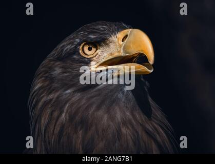Portrait shot of a Sea Eagle. Also known as an Erne or a White-Tailed Eagle - Stock Photo