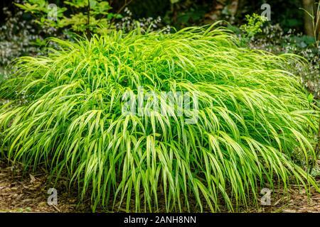 Hakonechloa macra 'Aureola', Hakone grass  'Aureola' or Japanese forest grass  'Aureola', France, Loiret, Orleans, Orleans-la-Source, the parc floral - Stock Photo
