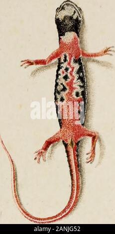 Salamandrina perspicillata und Geotriton fuscus : Versuch einer vergleichenden Anatomie der Salamandrinen, mit Besonderer berücksichtigung der Skelet-Verhaeltnisse . - Stock Photo
