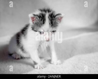 A cute little kitten looks on something frown. Sweet kitty on a white carpet evil look - Stock Photo